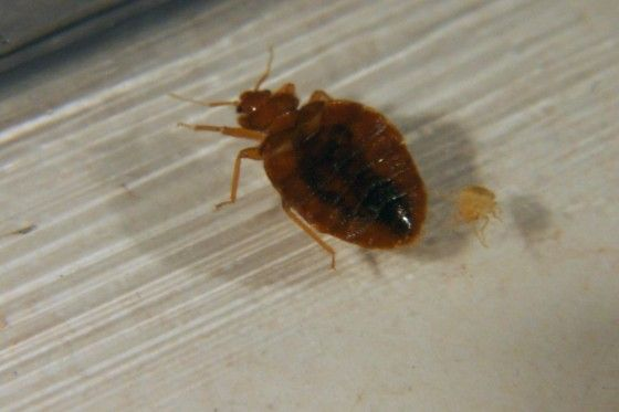 Top 10 Vampiric Creatures Bed Bugs Bugs Casper Mattress