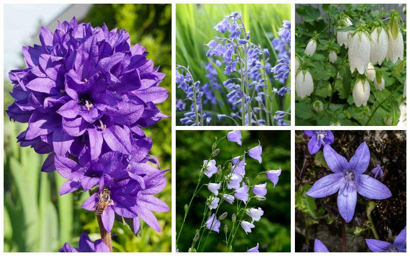 10 Different Types Of Bellflower Varieties Purple Perennials Summer Blooming Flowers Bellflower