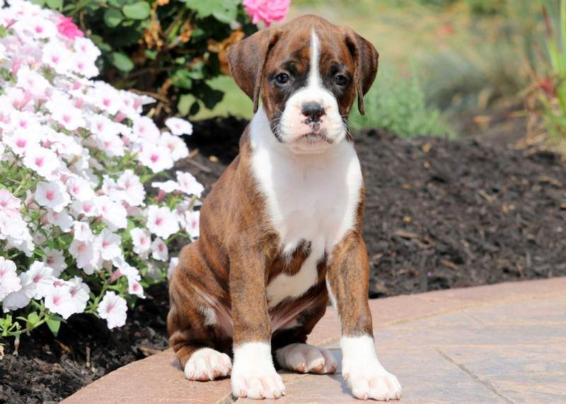 Dash Boxer Puppies Puppies For Sale Puppies