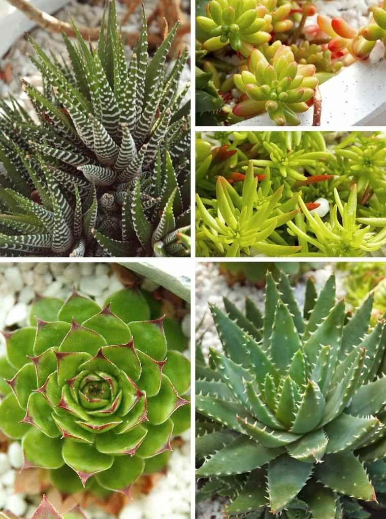 Varietes Plantes Succulentes Succulentes Bouture Pots