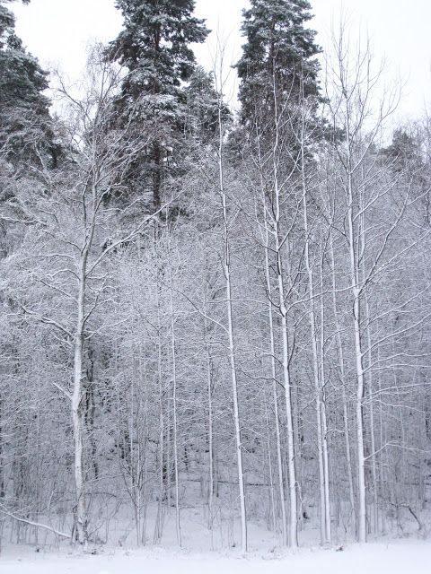 Trees with snowy frost