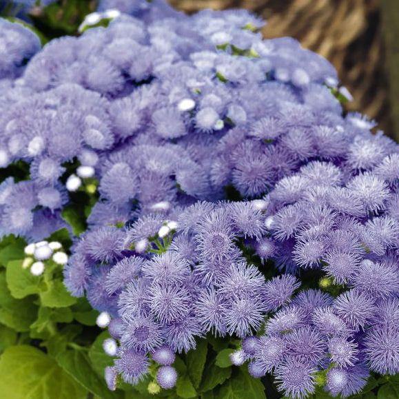 Hawaii 5 0 Blue Ageratum Flower Seeds Annual Flowers Organic Gardening