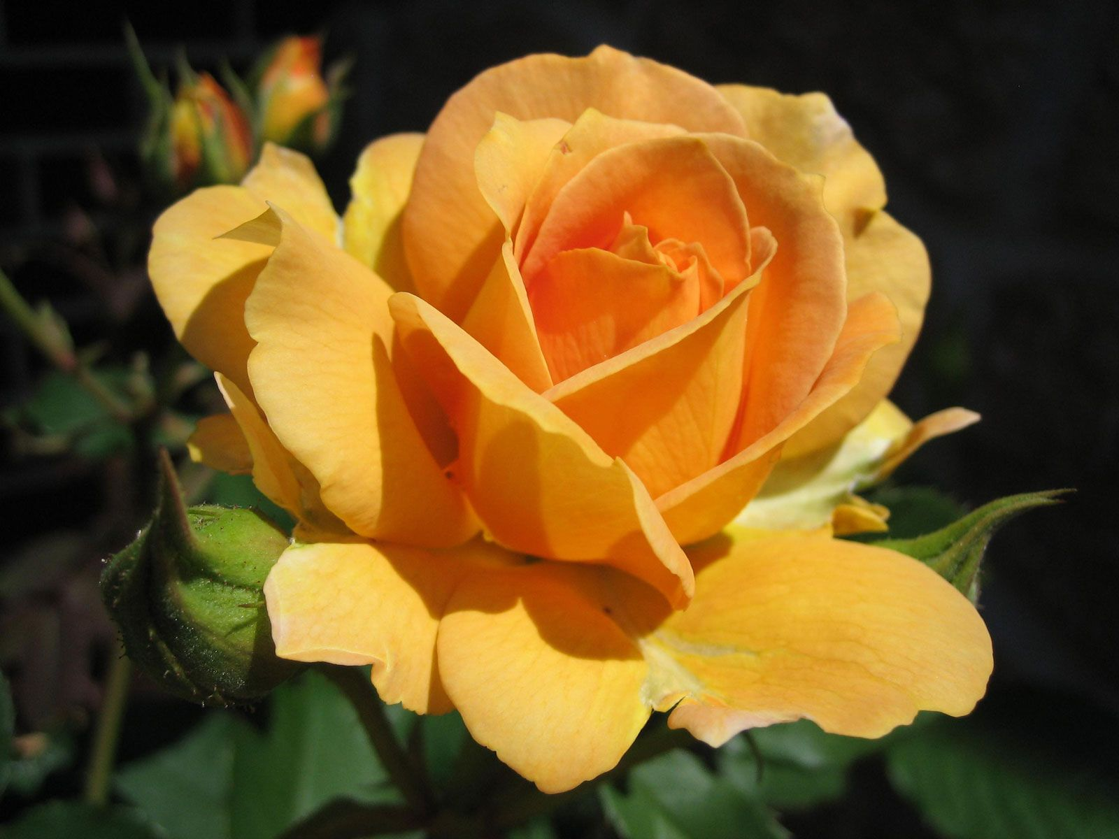roses pictures | Ochre-yellow hybrid rose flower photo designed as free wallpaper, 1600 ...
