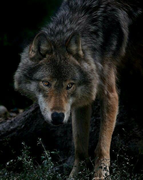 Pin Von Heloise Paz Auf Wolf Wolf Hunde Wolfshund Und Tiere