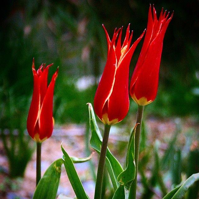 Ibrahim Ethem Tugla On Instagram Istanbul Kagithane Hasbahce Osmanli Lale Osmanlilalesi Bahar Tulip Ottoman Ottomantulip Spri Tulips Flora Flowers
