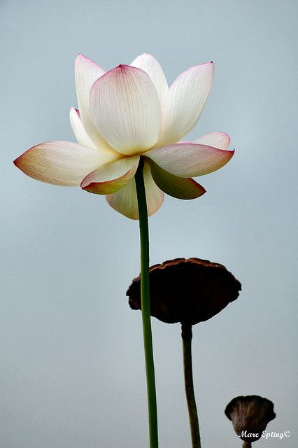 Lotus Flower... I really do think this is my favourite flower... It's just... perfect