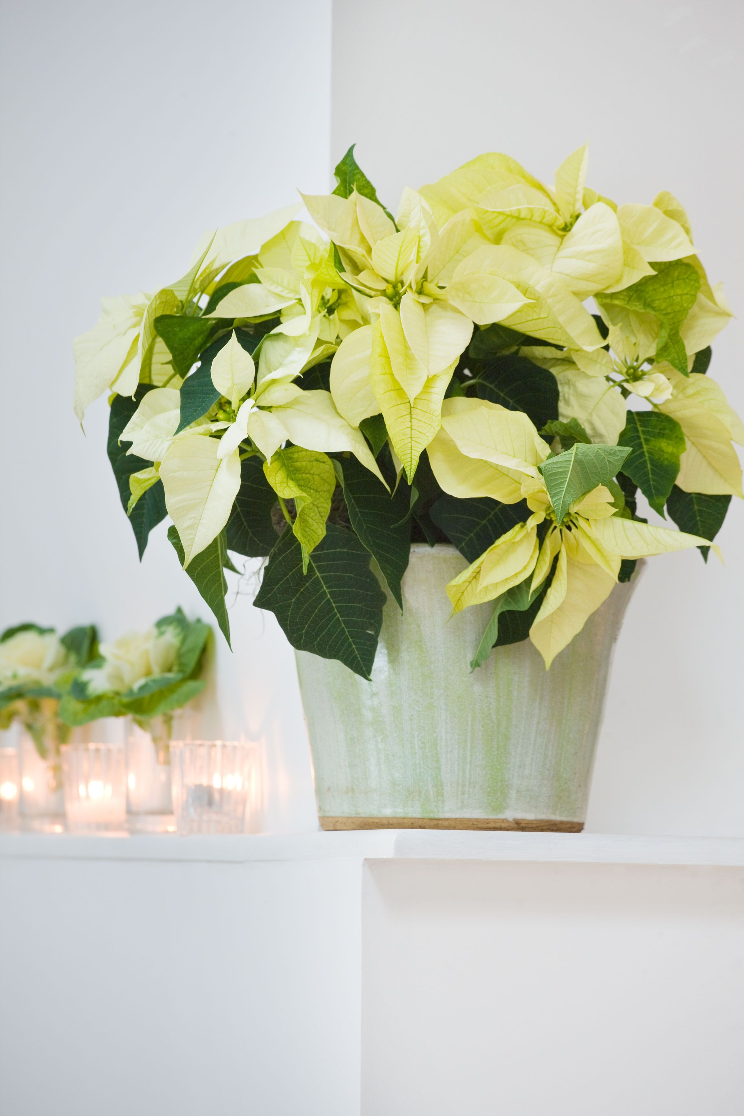 Cream/White seasonal Poinsettia. (With images) Christmas
