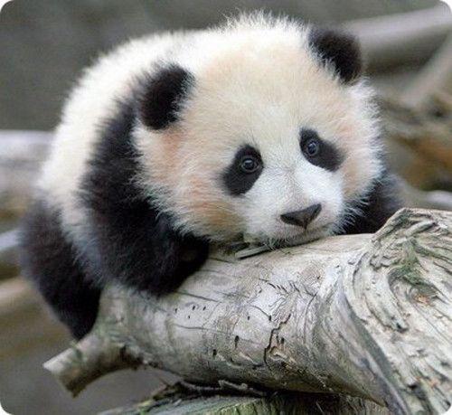 PEQUEÑO OSITO PANDA