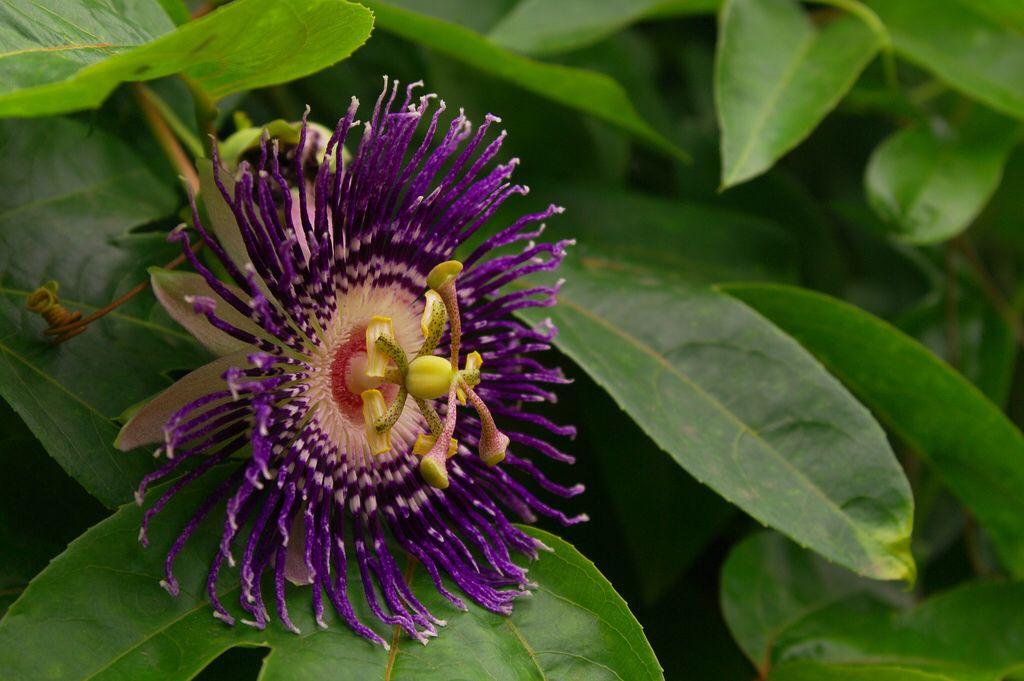 Passion Fruit Flower Passiflora Incarnata Beneficios Plantas Plantas Medicinales