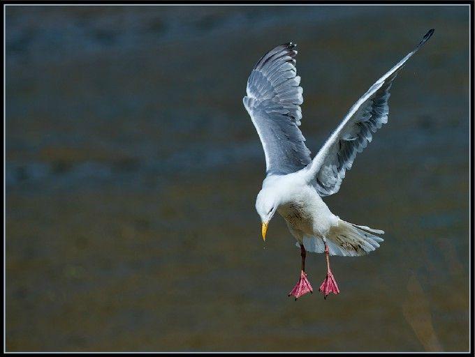 sharp-gull: Photo by Photographer David Schoen - photo.net