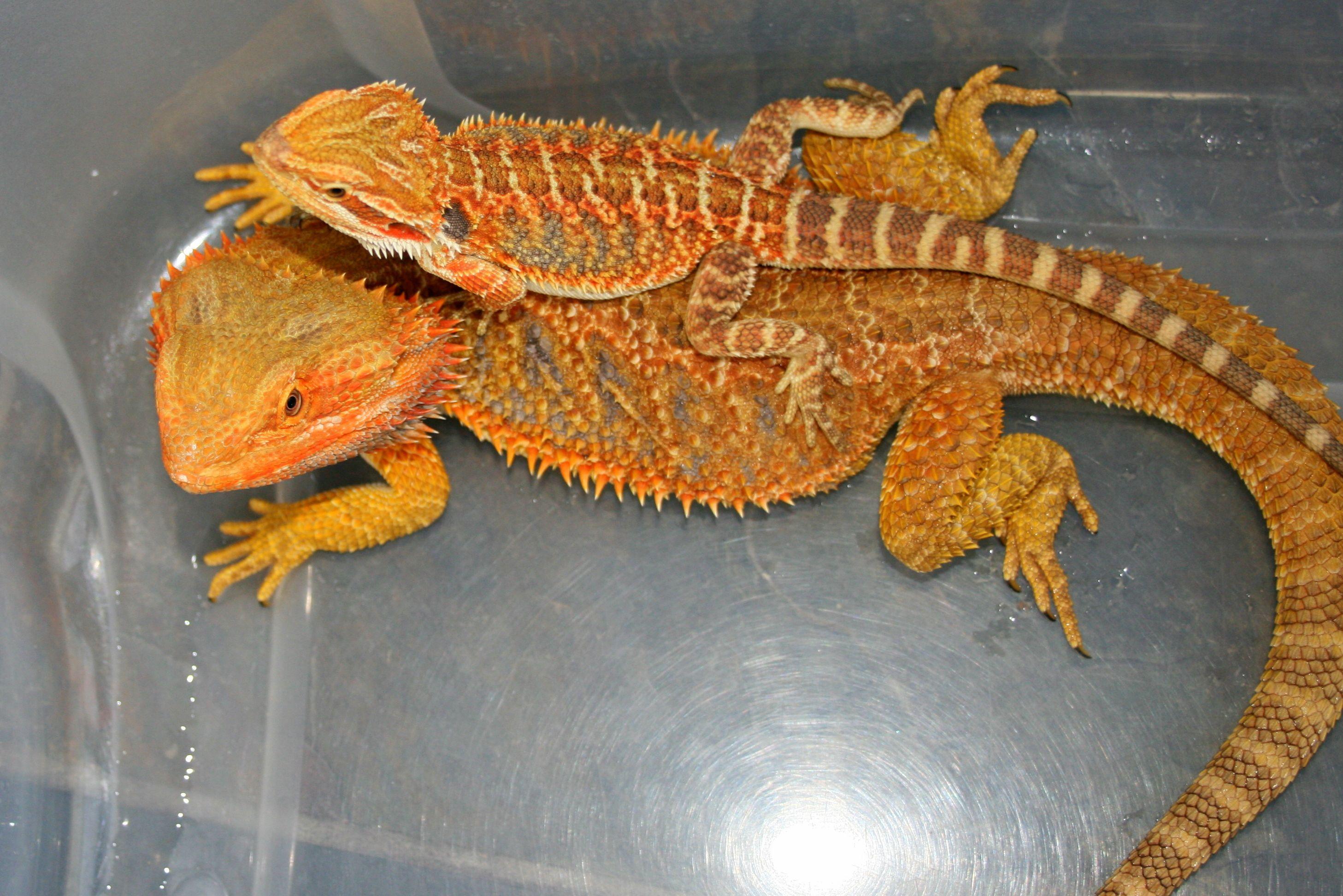Bearded Dragon Wallpapers Free Wallpaper Download Bearded Dragon Bearded Dragon Food Baby Bearded Dragon