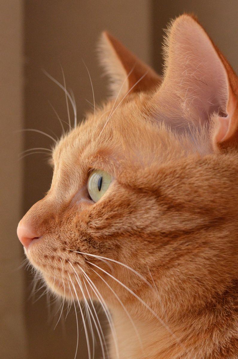 ぼくわちくわ Tabby Cute cats, dogs, Cat profile, Orange