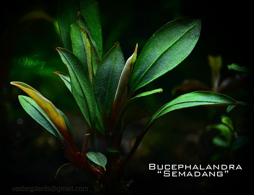 "Bucephalandra ""semadang"""