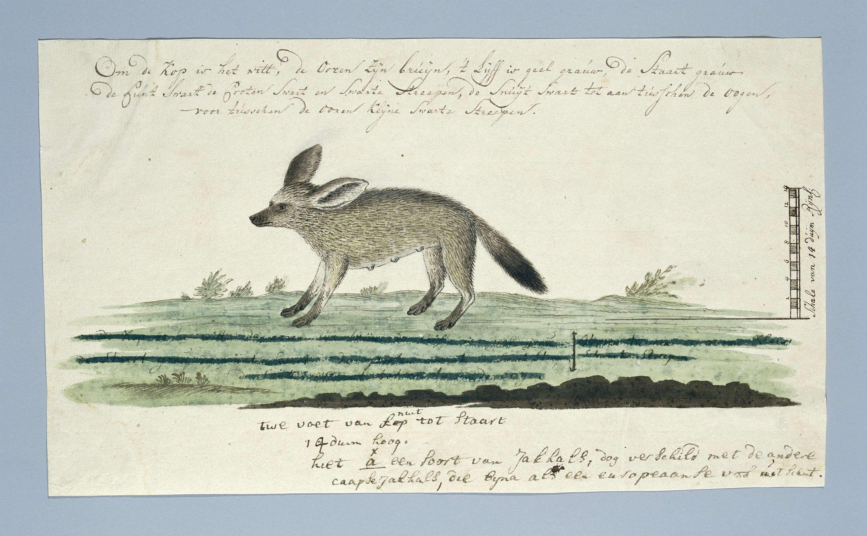 Robert Jacob Gordon   Kaapse vos (Otocyon megalotis), Robert Jacob Gordon, 1773 - 1780   Kaapse vos (Otocyon megalotis); met schaalverdeling in Rijnlandse duim.