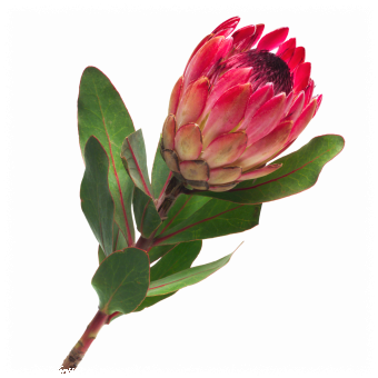 This Will Be The Basis For My Next Tattoo Protea Art Botanical Flowers Protea Flower