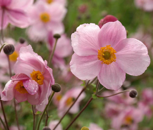 Anemone Pink Saucer Anemone Hupehensis Seeds In 2020 Autumn Flowering Plants Plants With Pink Flowers Anemone