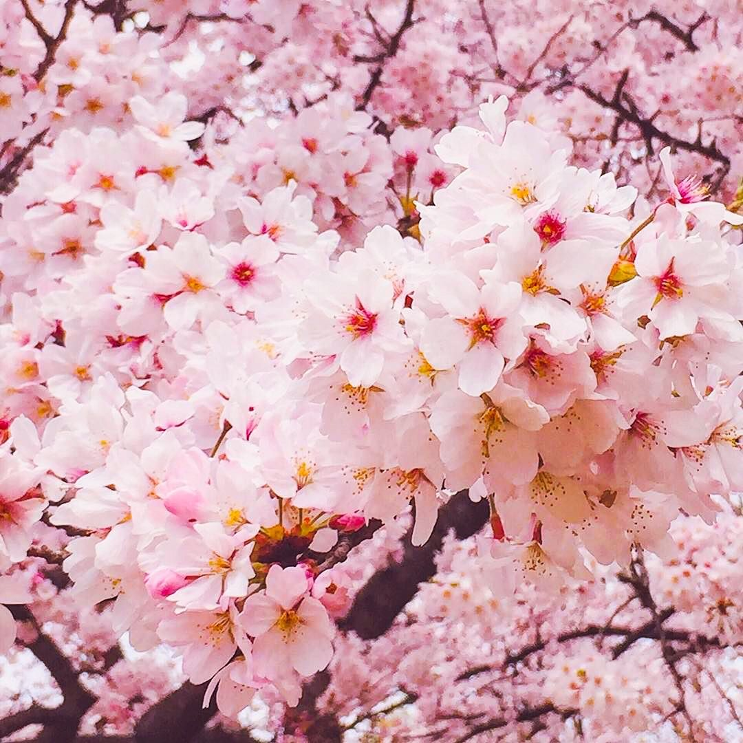 Cherry Blossoms Tokyo Japan By Chika Shewhoeats On Instagram C Cherry Blossom Blossom Hello April