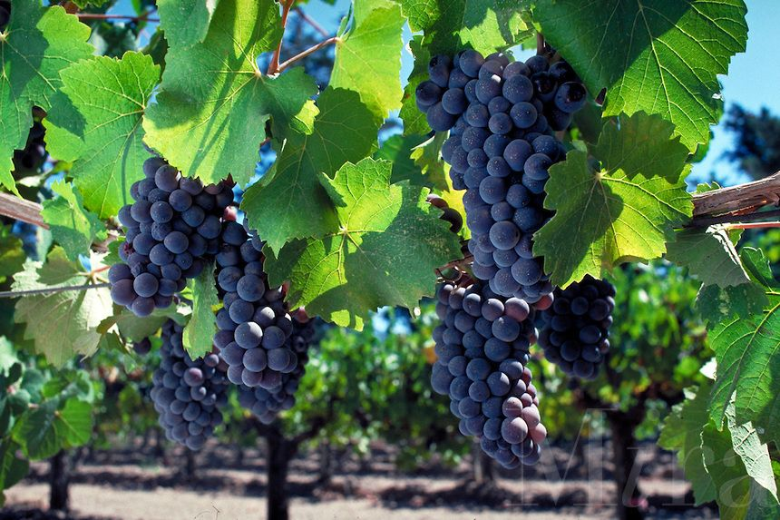 Grapes Hd Wallpaper Free Download For Mobile With Images