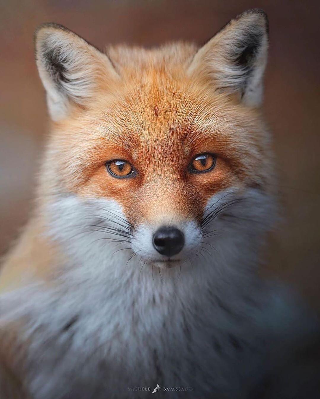 """Wildlife Friend sur Instagram: «« Soft Fox »Il y a quelques hivers, dans le parc national des Abruzzes. Un magnifique renard s'arrête sur notre chemin, montrant toute sa beauté. Photo / Légende de… """"   – •İlham•"""