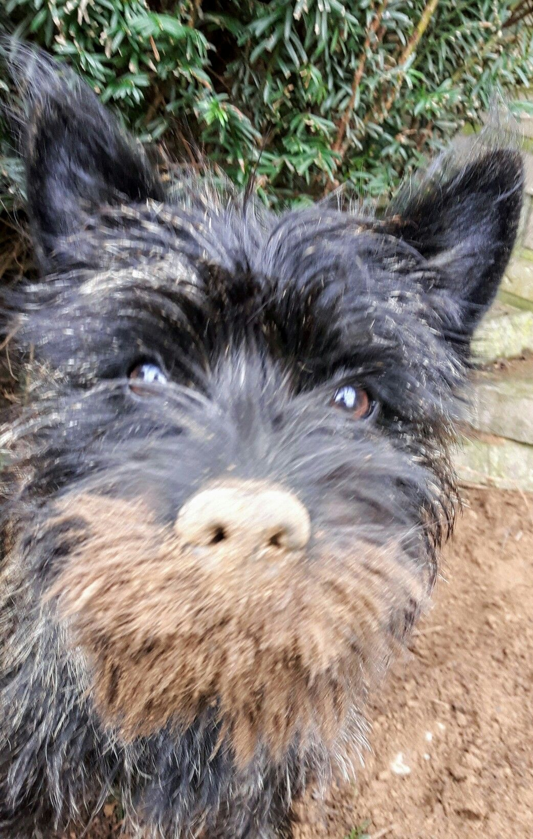 Lotta Hobby Locher Graben Cairn Terrier Terrier Animals