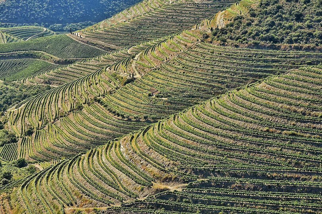 Cultivos De Uvas Para Vino En Terrazas De Laderas De Cerros