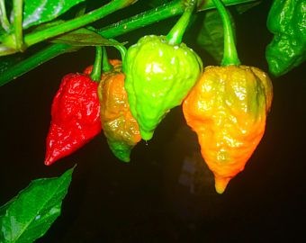 Ghost Pepper Plant Ghost Pepper Plants Hot Peppers 400 x 300