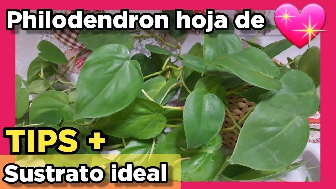 Filodendro De Hoja De Corazón Tips Trasplante Del Philodendron Scan En 2021 Filodendro Plantas Hojas