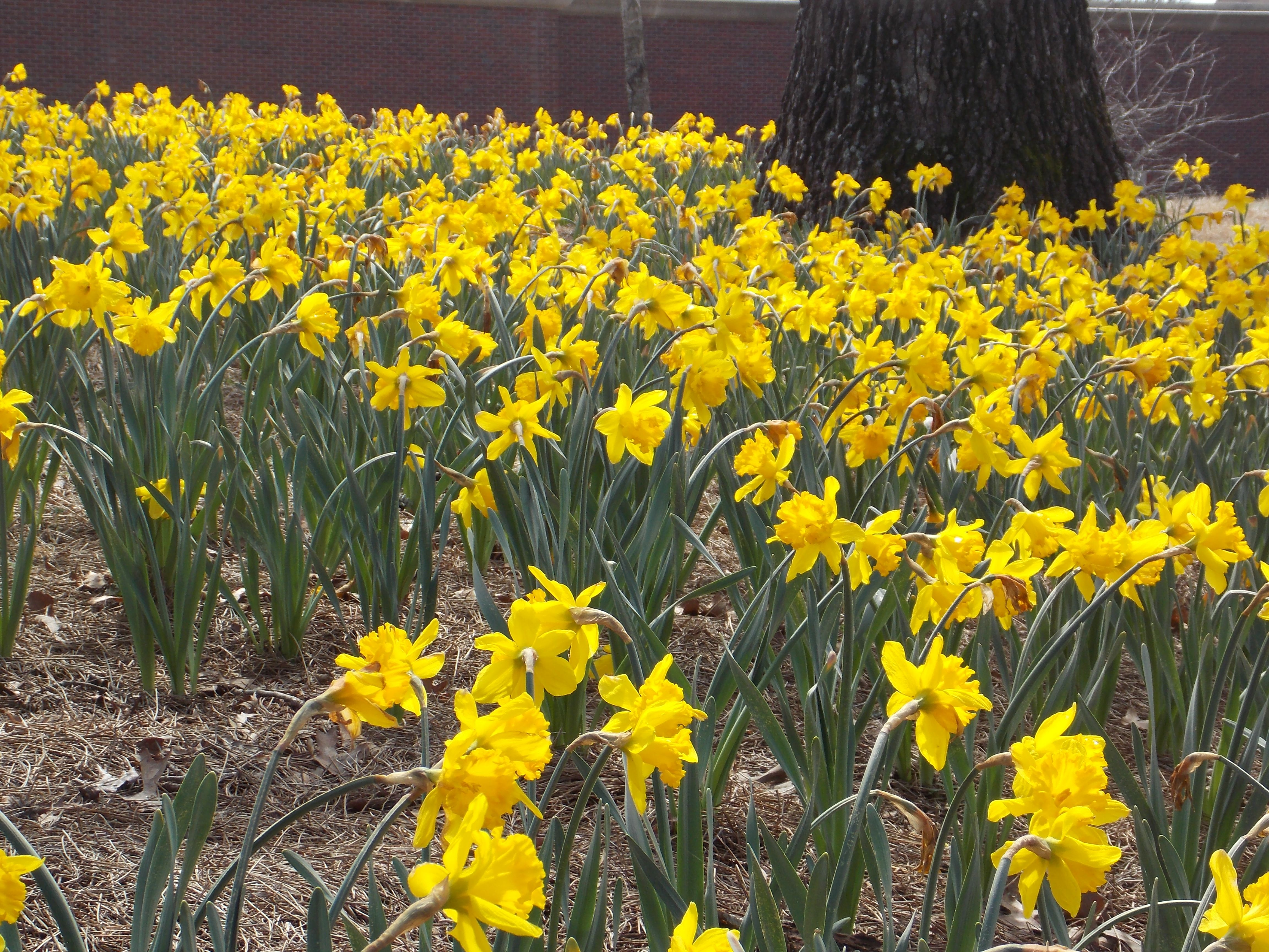 When how to plant daffodil bulbs - Curb Appeal Fall Is The Time To Plant Daffodil Bulbs