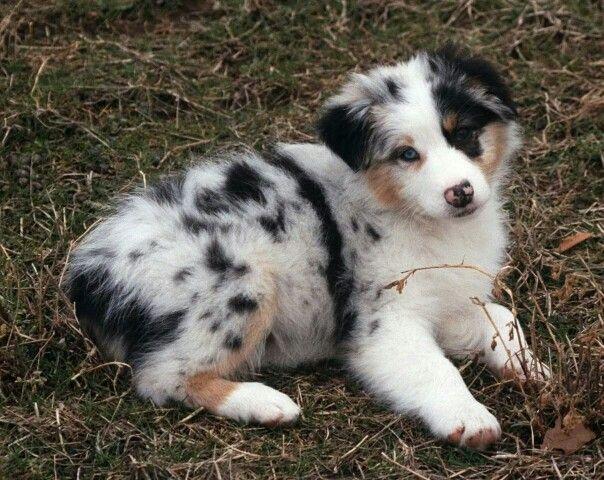Australian Shepherd Puppy Australian Shepherd Aussie Dogs