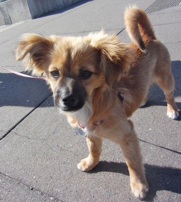 Dog Of The Day Zoey The Pom Chihuahua Dachshund Mix Puppy