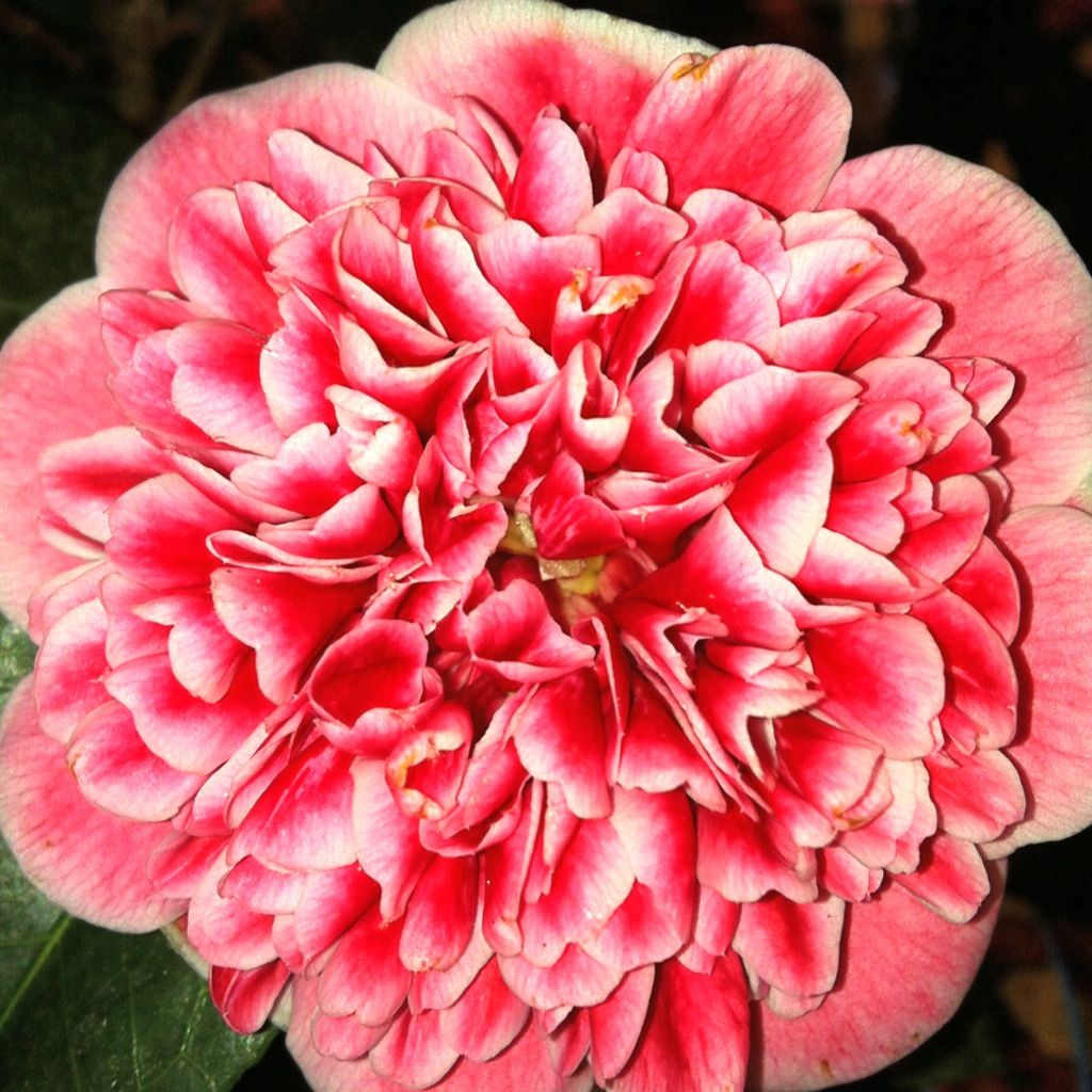 Camellia Volunteer New A New Camellia Japonica Called Volunteer Has Been Described As The Most Significant New Release For 20 Years Fresh In At Cow