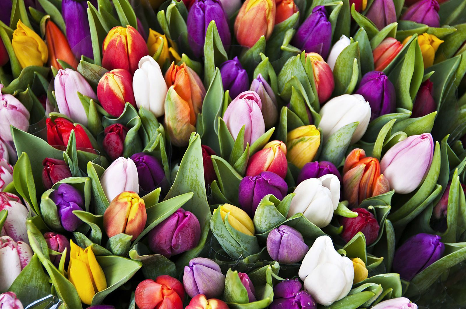 19 Facts Every Tulip Lover Should Know Tulips Next Flowers Love Flowers
