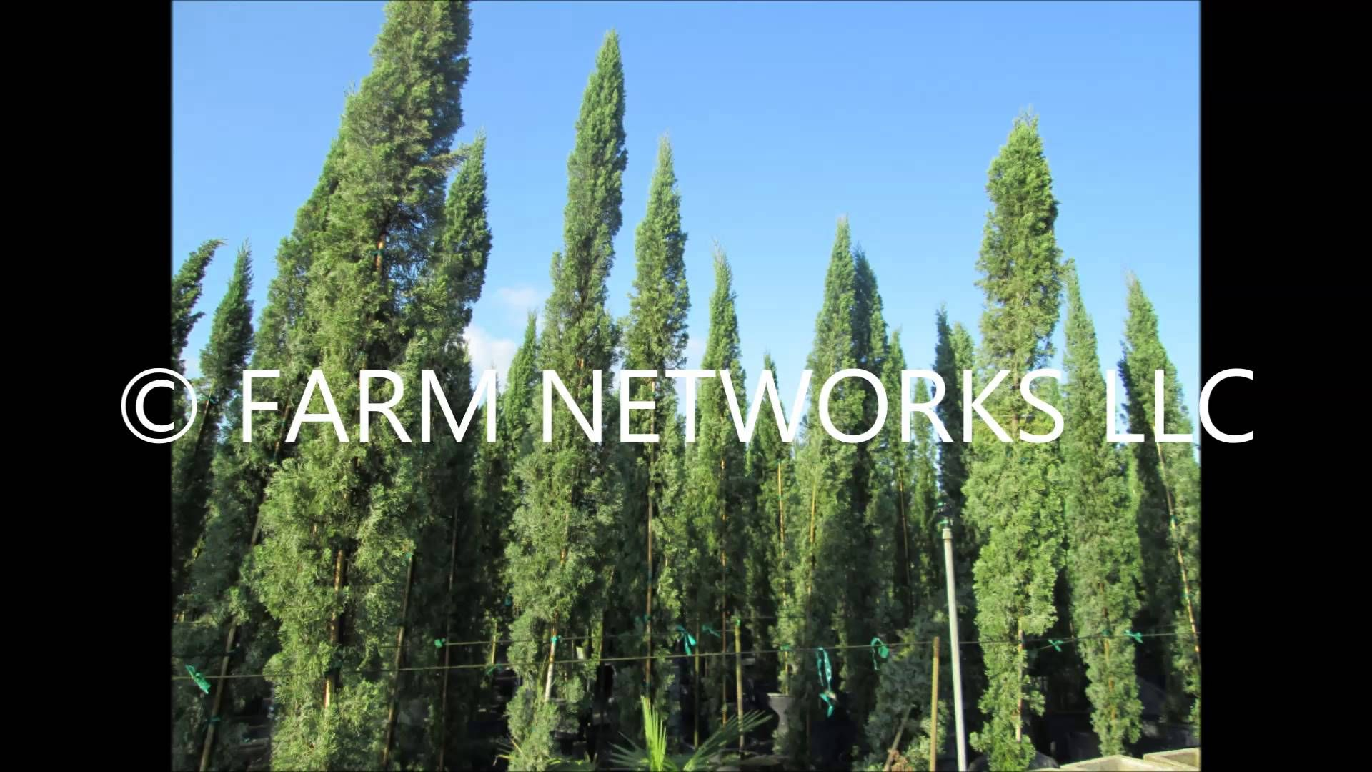 Italian Cypress Trees South Florida - (786).255.2832 - We Deliver ...