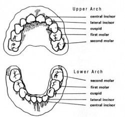 At What Age Do Baby Teeth Normally Fall Out? (Primary