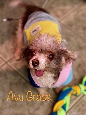 Oakhurst Nj Toy Poodle Meet Ava Grace Adoption Pending A Pet For Adoption With Images Toy Poodle Pet Adoption Poodle