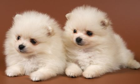 Cute Baby Animal Wallpapers Desktop Google Search Cute Puppy Wallpaper Cute Dog Beds Pomeranian Puppy
