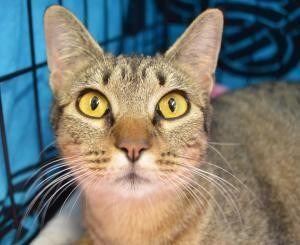 Adopt Patty Oh On Petfinder Wild Cats Cat Adoption Tabby