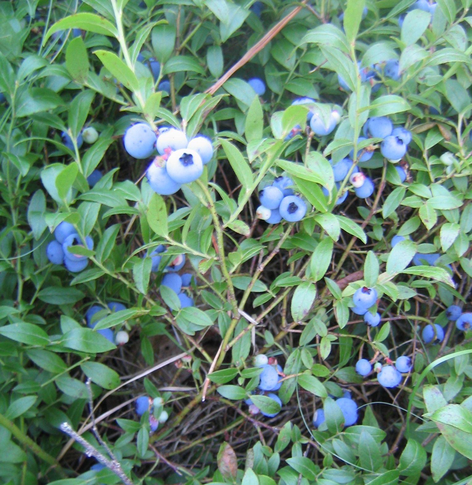 We Have One Bush So Far Summer 2013 Xoxo Blueberry Bush