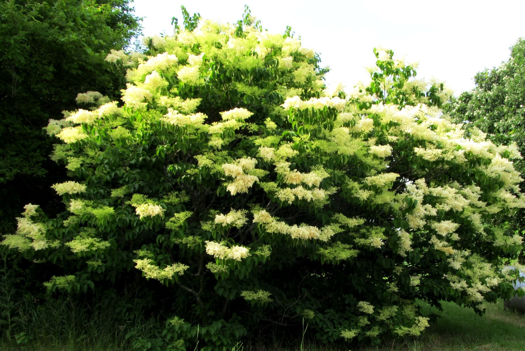 Last tree to flower in northern illinois what a beauty japanese last tree to flower in northern illinois what a beauty publicscrutiny Image collections