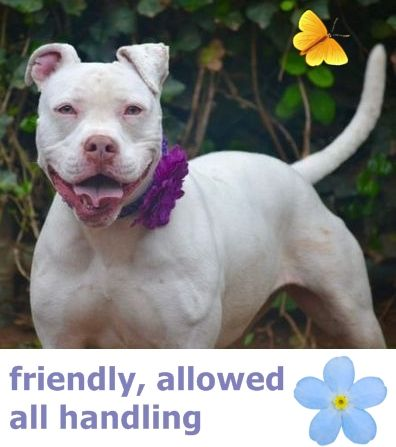 SAFE 6-20-2016 --- Staten Island Center SOPHIA – A1071327  ***DOH HOLD – B ***  SPAYED FEMALE, WHITE, PIT BULL MIX, 2 yrs, 2 mos STRAY – ONHOLDHERE, HOLD FOR DOH-B Reason BITEANIMAL Intake condition EXAM REQ Intake Date 04/24/2016 http://nycdogs.urgentpodr.org/sophia-a1071327/