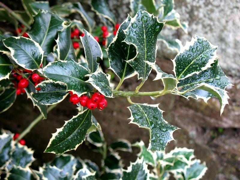 christmas holly plant - Google Search What a lovely day Pinterest
