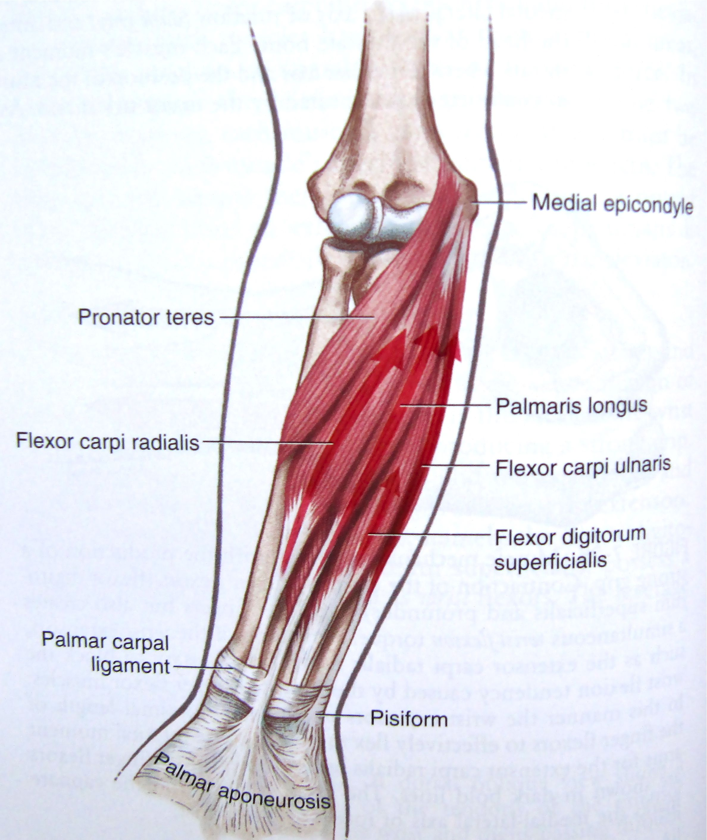 Wrist Flexors Of The Anterior Forearm Location Of Ligaments By