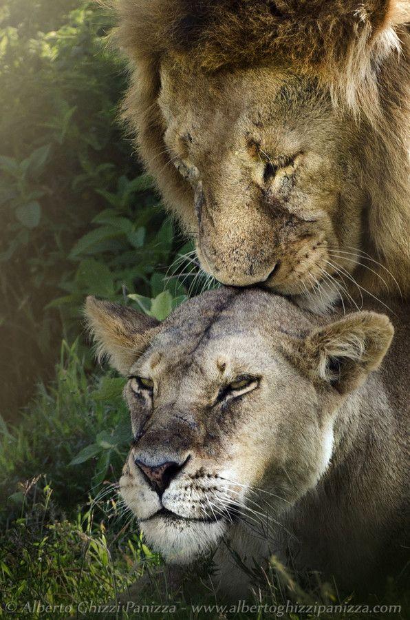 Лев целует львицу 2