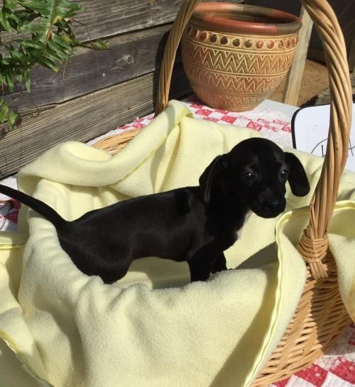 Adopt Ruthie On Adoptable Dachshund Dog Animal Rescue League Dogs