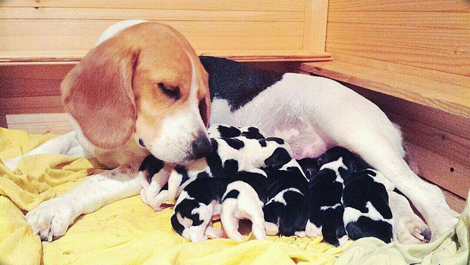 New Mamy Beagle Good Nala 7beagle Beagle Dogs Animals