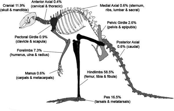 Kangaroo Skeleton Diagram | kangaroo | Pinterest | Red