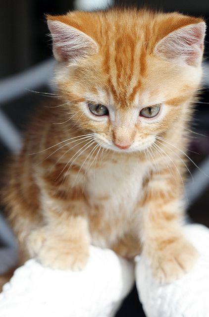 Frankie By Ishandchi Via Flickr Tabby Kitten Orange Tabby Cats White Tabby Cat