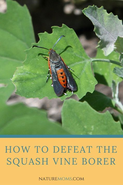How To Get Rid Of The Squash Vine Borer Pests Eating Your Pumpkins Here S Protect Naturally