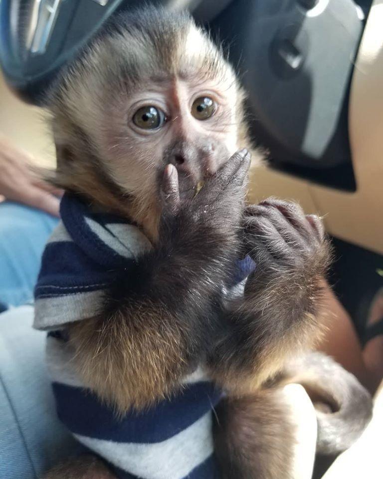 Capuchins Monkey Animals For Sale East Iliff Avenue Co In 2020 Pet Monkey Capuchin Monkey Pets For Sale