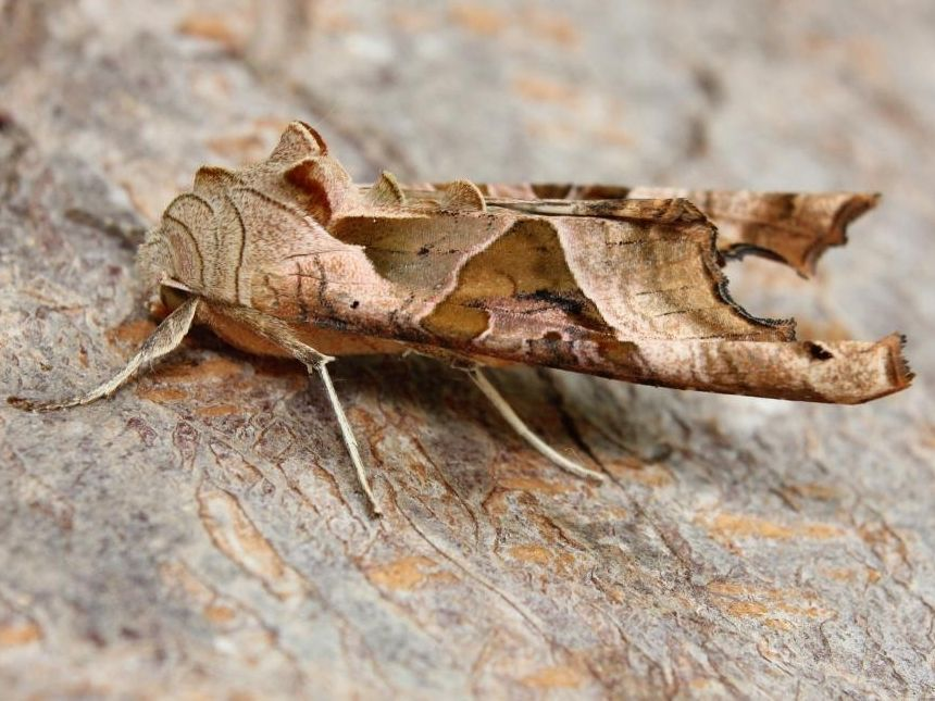 Image result for Phlogophora meticulosa moth